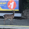 Deer on the Dart line are causing delays for passengers this morning