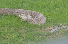 5ft-long Burmese python found in Wicklow Mountains
