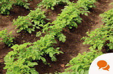 From the Garden: A strategic approach is required to water your tomatoes