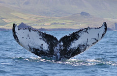 Breeding ground for humpback whales feeding in Irish waters discovered for the first time