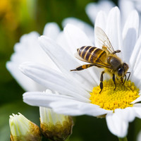 A bee can process numbers in the same way that a human does