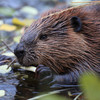 Polish minister defends hunting of beavers by claiming their tails are an aphrodisiac