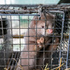 Poll: Should fur farming be banned in Ireland?