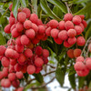 At least 31 children in India killed by toxin in lychee fruit