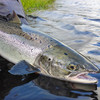 For every hundred salmon that go out to sea, 95 don't come back - the state of wild salmon in Ireland