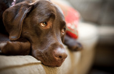 Dogs may have evolved 'puppy dog eyes' to communicate with humans