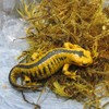 Salamanders and toad illegally posted to Ireland from Spain