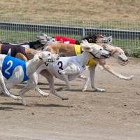 Poll: Should the government stop funding greyhound racing?