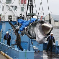 Japan resumes commercial whaling despite extinction fears