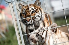 Tigers maul circus trainer to death in Italy