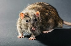 A rat has forced the Dáil members' bar to close