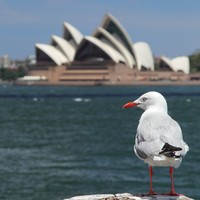 Australian seagulls carrying drug-resistant superbugs, study finds