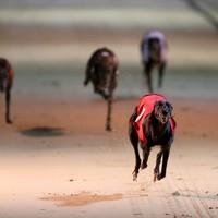 Irish Greyhound Board opens phone line for reporting animal cruelty