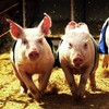 Protesters want an end to annual pig race in Arklow