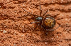 Woman hospitalised for six days after being bitten by 'Noble False Widow' spider