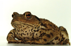 'Rare' common toad captured in Dublin following public appeal