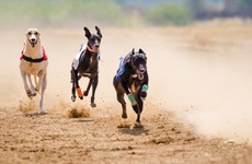 Irish Greyhound Board planning to set up care centres for dogs