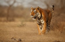 Conservation efforts pay off as India's tiger population increases by almost a third