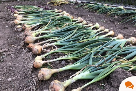 Scallions and other alliums are cropping up this week.