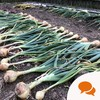 From the Garden: Braiding garlic and pulling onions with the kids