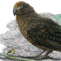 Evidence of 19 million year old 'Herculean' parrot found in New Zealand