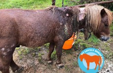 Pony suspected of being used as 'dog bait' fighting for life after rescue