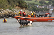 A cow that tumbled out to sea was rescued by a lifeboat crew in Kinsale