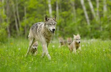 Could bringing wolves back to Ireland benefit our environment - and boost our economy?