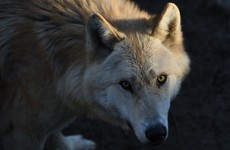 Poll: Should Ireland reintroduce wolves?