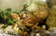 There's an outbreak of crayfish plague in a Kilkenny river