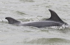 Family of bottlenose dolphins spotted off Kerry coast