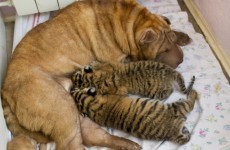Abandoned tiger cubs adopted by Shar Pei