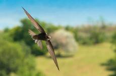 Nesting boxes for swifts being installed at revamped Leinster House