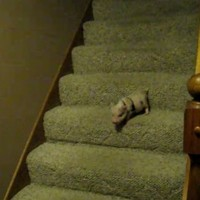 Piglet Versus Stairs Video of the Day