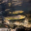 Investigation launched after hundreds of fish found dead in Cork river