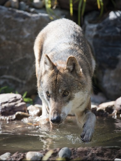 Seven wolves have been released into their 'large and stimulating' new home at Dublin Zoo