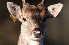 State-hired vet shot more than 150 deer in Cork wildlife park over last four years