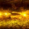 Gardaí seize €90k worth of cannabis from Limerick growhouse