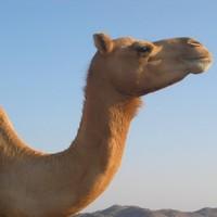Al-Qaeda affiliate offers 10 camels as bounty on Obama