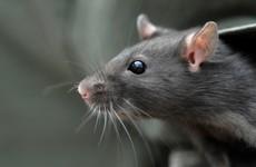 Leinster House bosses were warned Dáil rat was stealing chocolate 6 weeks before bar shut