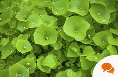 From the Garden: Succulent and almost-meaty to eat... Claytonia is a real alternative to spinach