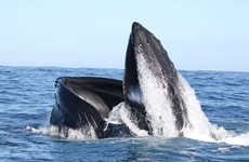 20 years on, first two humpback whales recorded by Irish group are still swimming together