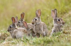 Presence of deadly rabbit and hare disease confirmed in six counties across Ireland