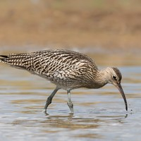 Ireland's Curlew population is 'on brink of extinction', warn conservationists
