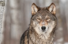 Josepha Madigan rejects calls to reintroduce wolves into Ireland
