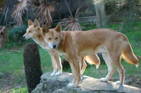 Two dingoes at a zoo in Sydney: a coroner has put an end to a 32-year affair by officially declaring that dingoes took a baby from her parents' care.