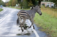 Zebra shot dead after causing road crash on German motorway