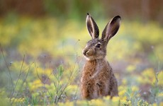 Five people fined for illegally hunting a hare in Co Mayo