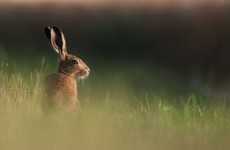 Man fined €500 for illegally hunting hares in Wexford reserve