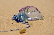 'Painful': Storm Lorenzo brought huge number of dangerous man o'war jellyfish to the Irish coast